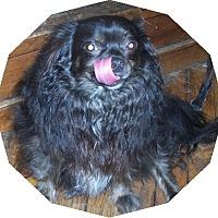 Adopt A Pet :: Cessper Long haired - Mtn Grove, MO