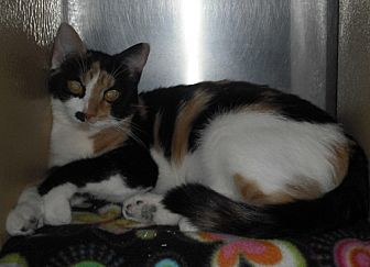 Calico Cat for adoption in Columbus, Ohio - Cali
