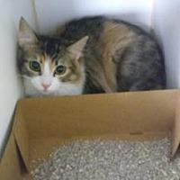 Domestic Shorthair Kitten for adoption in Roseville, California - Creme Brulee