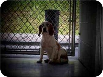Beagle Dog for adoption in Shelbyville, Kentucky - Mona