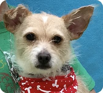 Terrier (Unknown Type, Small) Mix Dog for adoption in Evansville, Indiana - Stitch