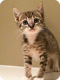 Domestic Shorthair Kitten for adoption in Mayflower, Arkansas - Linus