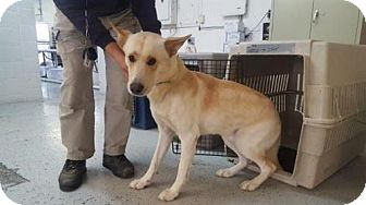 German Shepherd Dog Dog for adoption in Hooksett, New Hampshire - Sarge (IN)