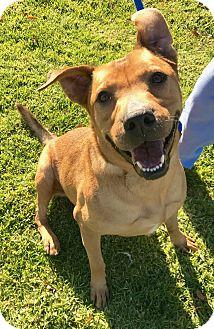 Labrador Retriever/German Shepherd Dog Mix Dog for adoption in Agoura Hills, California - Missy
