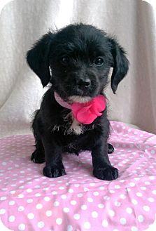 Standard Schnauzer/Terrier (Unknown Type, Medium) Mix Puppy for adoption in Newark, Delaware - Scarlett