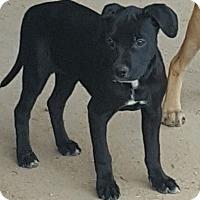 Adopt A Pet :: Rachel - Las Cruces, NM