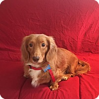 Adopt A Pet :: Peppermint Patty - Marcellus, MI
