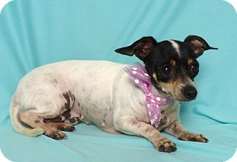 Rat Terrier Mix Dog for adoption in Kerrville, Texas - Lil Bit