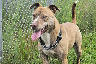 American Staffordshire Terrier Mix Dog for adoption in Shelby, Michigan - Tigger