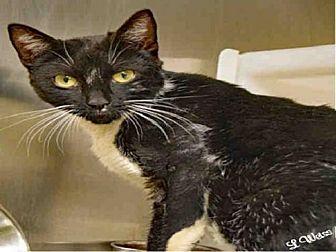 Domestic Mediumhair Cat for adoption in Ogden, Utah - SUNSHINE