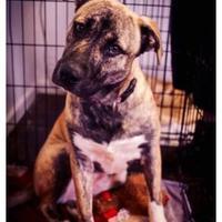 Adopt A Pet :: Nala - justin, TX