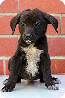 Pointer Mix Puppy for adoption in Waldorf, Maryland - Forrest