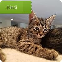 Adopt A Pet :: Bindi - Millersville, MD