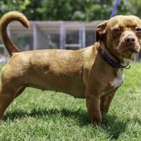 Adopt A Pet :: Nora - Houston, TX