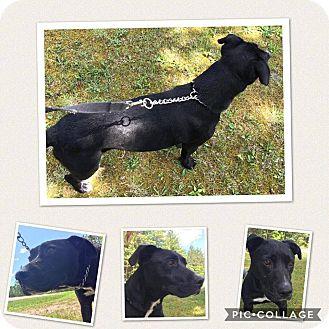 Labrador Retriever/Pit Bull Terrier Mix Dog for adoption in Cheboygan, Michigan - Smokey