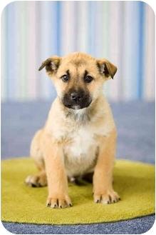 German Shepherd Dog Mix Puppy for adoption in Portland, Oregon - Ike
