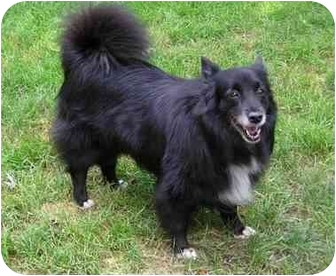 Border Collie/Sheltie, Shetland Sheepdog Mix Dog for adoption in Abingdon, Maryland - Annie