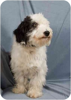 Poodle (Miniature)/Terrier (Unknown Type, Small) Mix Dog for adoption in Anna, Illinois - LOUIE