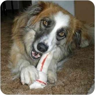 Border Collie Mix Dog for adoption in Denver, Colorado - Lola