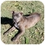 Photo 2 - American Staffordshire Terrier Mix Puppy for adoption in Sacramento, California - Izzy