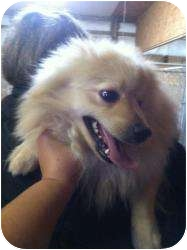 Pomeranian Dog for adoption in Lonedell, Missouri - wish list