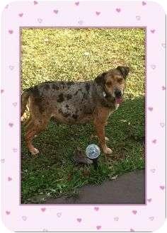 Catahoula Leopard Dog/Beagle Mix Dog for adoption in JACKSONVILLE, Florida - Pretty Girl