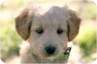 Poodle (Standard)/Schnauzer (Standard) Mix Puppy for adoption in Austin, Texas - Caramel
