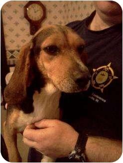 Beagle Dog for adoption in Albany, Indiana - Shelby