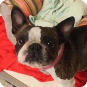 Boston Terrier Mix Dog for adoption in Naperville, Illinois - Maggie