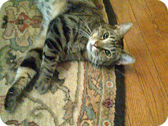 American Shorthair Cat for adoption in Hazard, Kentucky - Tiger