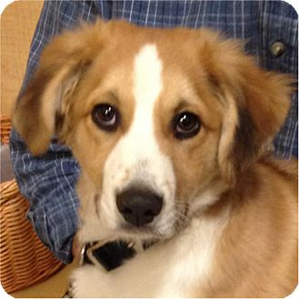 Border Collie Mix Puppy for adoption in Weatherford, Texas - Bo