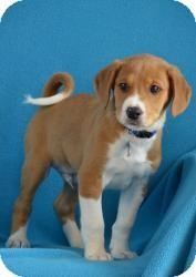 Retriever (Unknown Type)/Hound (Unknown Type) Mix Puppy for adoption in Minneapolis, Minnesota - Quentin