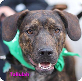 Boxer Mix Puppy for adoption in Alpharetta, Georgia - Talulah