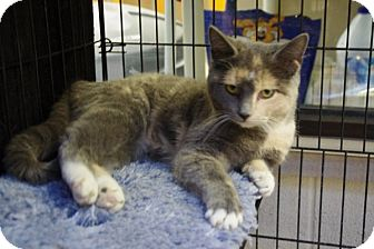 Domestic Shorthair Kitten for adoption in Elyria, Ohio - Windy