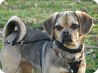 Pug/Beagle Mix Dog for adoption in Bedford, Virginia - Cricket