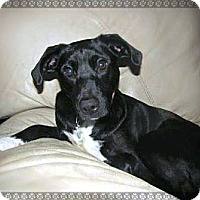 Adopt A Pet :: Roxie - Chattanooga, TN