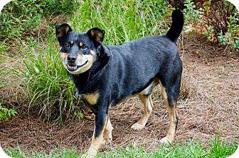 Manchester Terrier Mix Dog for adoption in Salem, New Hampshire - GUS