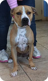 American Staffordshire Terrier Mix Dog for adoption in Kirby, Texas - Cocoa