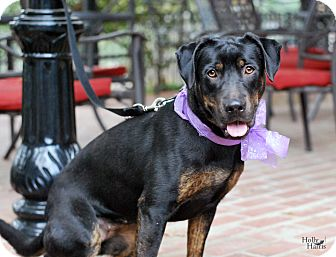 Rottweiler/Retriever (Unknown Type) Mix Dog for adoption in Baton Rouge, Louisiana - Sweet Viola