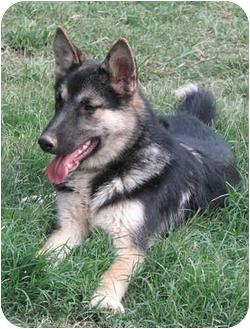 German Shepherd Dog Puppy for adoption in Brattleboro, Vermont - Tristan