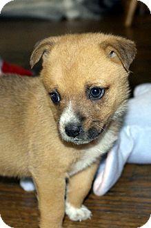 Pomeranian/Chihuahua Mix Puppy for adoption in Winnetka, California - ARIEL