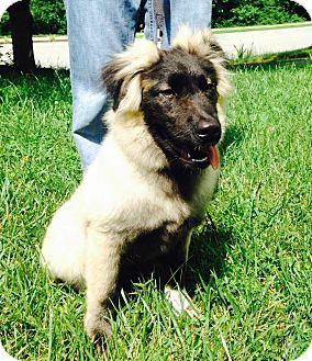 Keeshond Mix Dog for adoption in Richmond, Virginia - Niko