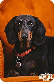 Dachshund Dog for adoption in Portland, Oregon - Snoopy