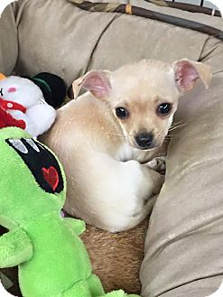 Chihuahua Mix Puppy for adoption in Boca Raton, Florida - Bubbles