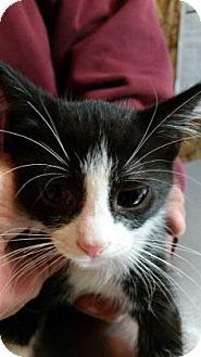 Domestic Shorthair Kitten for adoption in Simcoe, Ontario - Sunstone