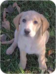 Labrador Retriever/Coonhound Mix Puppy for adoption in Warren, Pennsylvania - Gwen
