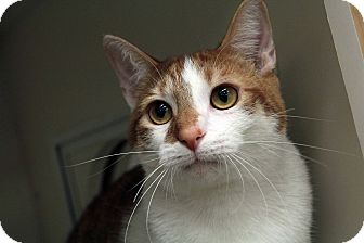 Domestic Shorthair Cat for adoption in St. Louis, Missouri - Colby