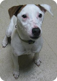 Jack Russell Terrier Mix Dog for adoption in Gary, Indiana - Rudy