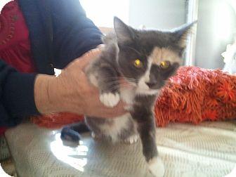 Calico Kitten for adoption in Brea, California - SARAH