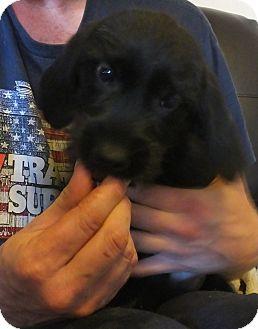 Wheaten Terrier Mix Puppy for adoption in Mantua, New Jersey - Abbie